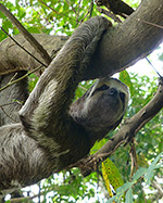 In The Amazon - Sloth at Work